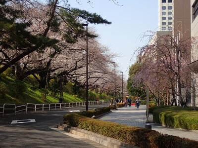 四ツ谷でお花見!桜の開花状況は?