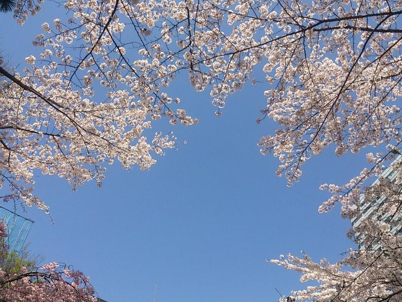 春の麹町2015
